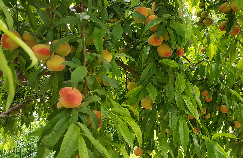 Peach Tree S Beautiful Blooms And Delicious Fruit What S